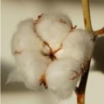 Eko bawełna – nowa jakość odzieży